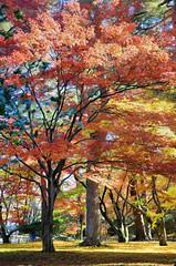 Autumn Leaves (jpellgen) Tags: japan japanese nihon nippon  ishikawa kanazawa kenrokuen garden zen     asia nikon 2016 fall autumn sigma 1770mm d7000 leaves leaf momiji koyo maple november travel honshu park nature scenery