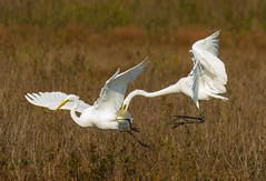 7K8A3952 (rpealit) Tags: scenery wildlife nature chincoteaque national refuge great egrets bird egret