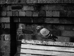 Pigeon (Jo_Morley) Tags: bw blackandwhite pigeon monochrome black white bird animal wildlife wild life nature bench watermark greyscale photoshop street photography sony liverpool england britain bricks british outside outdoor uk united kingdom unitedkingdom contrast texture