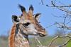close-up of young Southern Giraffe (cirdantravels (Fons Buts)) Tags: giraffe giraffa girafe