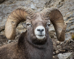 Rocky Mountain Bighorn Sheep (Turk Images) Tags: jaspernationalpark mountainparks northamericanungulates oviscanadensis rockymountainbighornsheep alberta bovidae mammals rockymountains fall mountains sheep woodlands