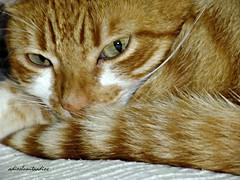 "El descanso del "" guerrero""002 (adioslunitaadios) Tags: gato gatocomn pelirrojo animal mascota relajacin armona paz macro fujifilm"