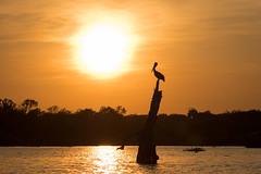 Late Fall, Late Afternoon (gseloff) Tags: brownpelican bird silhouette wildlife sunset oldfriend tree horsepenbayou armandbayou pasadena texas kayakphotography gseloff