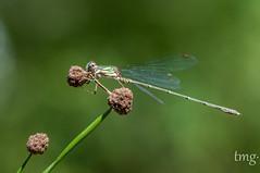 Chalcolestes viridis (macho/male) (Teo Martínez (temege)) Tags: insectos invertebrados odonatos zigópteros caballito diablo macro naturaleza verde chalcolestes viridis