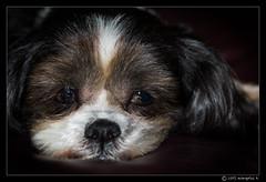 Bode (evangelos K) Tags: dog cute hair us louisiana unitedstates sleepy a77 kentwood sigma105oshsm bodefarm