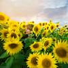 amongst the flowers (afisher photography) Tags: sunset portrait selfportrait girl photoshop outdoors alone farm sunflowers sunflowerfield photoshopcomposite conceptualportrait amandaj amandafisher fairytalephotography amandajphotography afisherphotography
