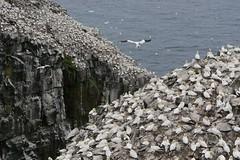 Northern Gannet (Jeannine St. Amour) Tags: bird nature newfoundland wildlife seabird capestmarys northerngannet