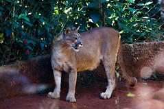 DSC07729-1 (Vanessa[VB]) Tags: animal animals zoo sony puma alpha animais ona parda