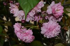 DSC_3516 flowering cherry (johnjennings995) Tags: pink flowers flower cherry australia adelaide southaustralia