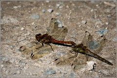 Common Darter dragonflies(Sympetrum striolatum) (Smudge 9000) Tags: summer england dragonfly unitedkingdom wildlife gb silverdale 2015 commondarter sympetrumstriolatum rspbleightonmoss