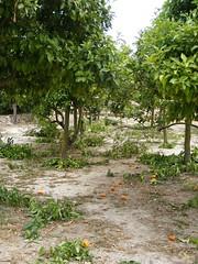DSCF9418.jpg sinaasappelbomen (annelies_visser) Tags: outside spain sanjuan oranges mallorca naranja spanje balearen sinaasappels elscalderers sinaasappelbomen