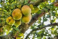 (nikkiashton922) Tags: tree garden orchard apples nottinghamshire clumberpark