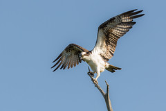 Let Us Prey (gseloff) Tags: bird texas wildlife pasadena osprey kayakphotography gseloff horsepenbayou