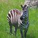 Binder Park Zoo 05-20-2015 - Grants Zebra 17