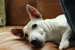 """Jack Russell Terrier Dog • <a style=""""font-size:0.8em;"""" href=""""http://www.flickr.com/photos/31682982@N03/21901458064/"""" target=""""_blank"""">View on Flickr</a>"""