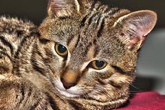 © Massimo Martini (Photographer Massimo Martini) Tags: gatto hdr europeo tigrato
