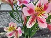 Astromelia (Ingrid T.) Tags: chile pink flower spring flora flor lirio astromelia
