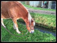 Happy Sarah (gill4kleuren - 11 ml views) Tags: life horse me sarah fun outside happy running gill saar paard haflinger