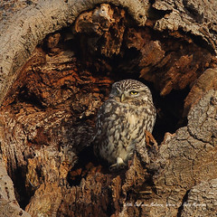 My left side..... (Robin M Morrison) Tags: tree hole little owl ash malvern