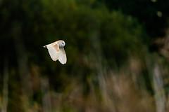 Ham Wall Barn Owl (Adam Sibbald) Tags: nature nikon reserve somerset 500mm f4 levels rspb d7200