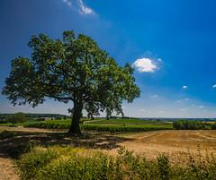 Les amours mortes (Fabrice Le Coq) Tags: jaune vert bleu ciel nuage paysage extérieur arbre champ fabricelecoq