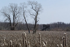 Trees, Cattails, and Viewing Platform (joeldinda) Tags: sky tree forest woods nikon michigan stjohns cattails swamp april marsh wildflowers bog v1 attractions bullrushes 2047 viewingplatform mapleriverstategamearea mapleriver 2013 1v1 mapleriversga nikon1v1