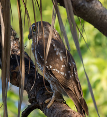Barking Owl (Ninox connivens) (35  45 centimetres).01 (geoff.whalan) Tags: ninoxconnivens