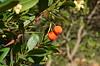 Arboç      Madroño (lecastrosandin) Tags: naturaleza nature catalunya arbucies madroño arboç frutosdelbosque