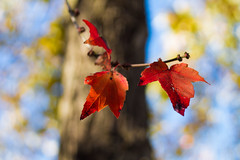 Red Leaves Explored 11/25/15 (jason.betzner) Tags: autumn red tree fall leaves canon outside eos virginia rebelt3