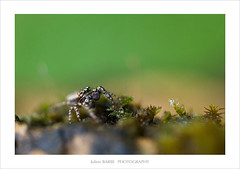 (~julien~) Tags: macro spider araigne 6d salticidae 65mpe saltique julienbarbe julienbarbe