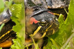 2015 Red-eared Turtle 6 (DrLensCap) Tags: county railroad chicago abandoned robert animal forest way spur illinois woods track pacific turtle district union cook trails right il trail rails to preserve kramer weber preserves redeared labagh of amplibian