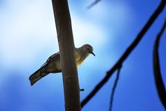 Maui Zebra Dove (explored) (heartinhawaii) Tags: sky bird nature silhouette pigeon dove wildlife maui perched nikond3300 mauibird mauipigeon birdinmaui birdinhawaii