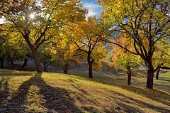 Autumn Morning (Shehzaad Maroof Khan) Tags: morning autumn pakistan light sun sunlight love grass leaves garden gold nikon december peace lawn royal valley karakoram hunza karimabad 2015 gilgitbaltistan