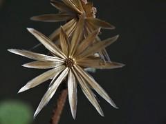 Brickellia secundiflora (Lag.) A. Gray (carlos mancilla) Tags: flowers flores fruits frutos olympussp570uz brickelliasecundifloralagagray