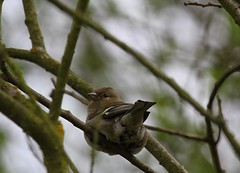 A Female Common Chaffinch (praja38) Tags: life uk trees wild england tree london nature leaves female wings branch unitedkingdom wildlife caps wing beak feathers feather humour finch perch wwt chaffinch capricorn commonchaffinch