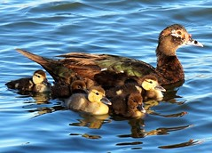 Mama duck with her babies (calspachmorris) Tags: nature duck pond babyduck