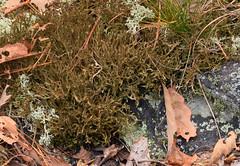 sand-loving Iceland lichen (ophis) Tags: lichen cetraria parmeliaceae cetrariaarenaria sandlovingicelandlichen