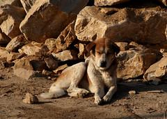 dogs in kathmandu (wojofoto) Tags: kathmandu 2016 dog dogs hund hond wojofoto wolfgangjosten nepal streetphoto straatfoto