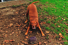 Freddy Wants To Play 16-1111-1576 (digitalmarbles) Tags: fred dog canine animal pet grass leaves fall autumn ball cute beautiful sweet mansbestfriend friend dogswithballs happy joyful excited paws eyes tail burnaby lowermainland bc britishcolumbia canada nikond300 nikon