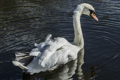 Mute Swan (Mal.Durbin Photography) Tags: muteswan maldurbin swans newportwetlands nature naturereserve southwalesuk
