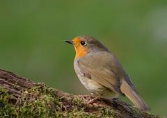 Robin-4069 (Kulama) Tags: robin birds nature wildlife land garden woods westsussex autumn autumncolours canon7d sigma150600c563