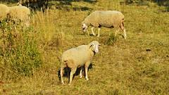 Schafe (Tobi NDH) Tags: schaf schafe sheep tier animal natur nature hausschaf ovisgmeliniaries skaap oveja mouton pecora schaap ovelha  owca evcilkoyun   juh ovce