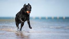 Black in blue. (Marcus Legg) Tags: marcuslegg max canon eos 1dx ef70200mmf28lisii wetdog ball black labrador retriever fur play outdoors bokeh blue beach seaside sea water ocean