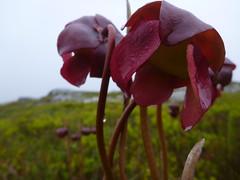 P1030841 (epiclundholmlab) Tags: sarracenia purpurea bog barren heathland botany carnivorous novascotia