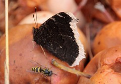 """W""""asp and butterfly on the rotten aple. (irio.jyske) Tags: rotten butterfly wasp autumn aple canon sigma"""