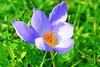 Crocus Specious (misi212) Tags: crocus specious botanical garden vacratot