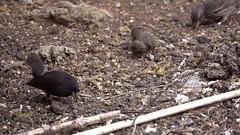 Batalla de los pinzones (jonasflanken) Tags: galapagosislands slowmotion bird finch commoncactusfinch
