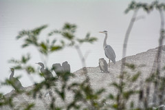 Grands cormorans, héron cendré