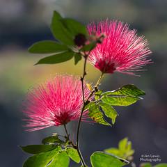 Powder Puff Flowers (jklewis4) Tags: belleisle conservatory powderpuff flower pink stamens calliandraemarginata backlight blossom tropical nature