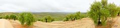 Panoramica_Atalaya_Olivos_1 (kunkache) Tags: olivo aove kunkache olivar jan